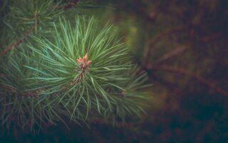 pyłek sosnowy